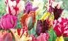 16 papegaai-tulpenbollen