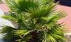 "1 ou 2 palmiers du Mexique ""Washingtonia Robusta"""