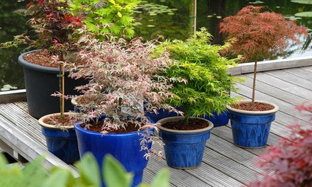 Japanese Young Maple Trees