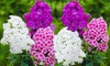 Pre-Order Deal: Double Phlox Bare Root Flower Collection
