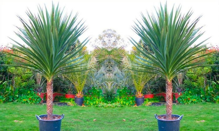Giant cordyline australis verde palm groupon goods Home goods palm beach gardens