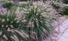 Lot de plantes Pennisetum 'Hameln'