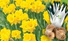 40 Golden Favourite Daffodils Bulbs and Gardeners Advantage Gloves Set