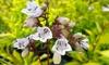 3 or 5 Penstemon Golfinger Plants