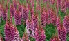 Foxglove 'Candy Mountain' - 5 or 10 Plants