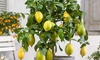 Plantes de citronnier