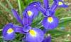 Dutch Iris Mix Flower Bulbs (50-, 100-, or 200-Pack): Dutch Iris Mix Flower Bulbs (50-, 100-, or 200-Pack)