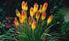 Pre-Order: Kniphofia Red Hot Poker Roots (5-Pack)