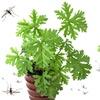 Citronella Plants (2-, 4, or 8-Pack)