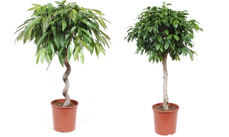 Ficus Columnar o Amstel King