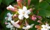 Abelia Mosanensis Plant