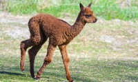 Baby Alpaca Experience for One or Two at Charnwood Forest Alpacas (50% Off)