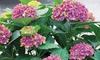 Arbuste Hydrangea macrophylla