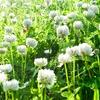 White Clover Seeds (1 lb.)
