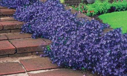 19er-Set bodenbedeckende Pflanzen in diversen Blütenfarben (Koln)