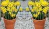 Daffodil Tete-a-Tete Bulbs