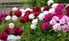 3 o 6 piante di peonia rossa, rosa e bianca