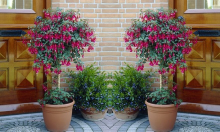 Two Fuchsia Trees with Optional Black Flared Planters and Feed