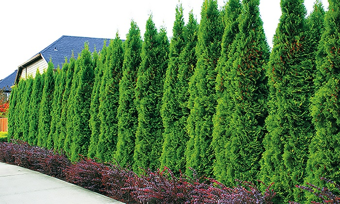 Lebensbaum hecke thuja smaragd groupon goods for Pflanzen evergreen