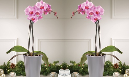 Exotic Moth Orchid Plant in Ceramic Pot