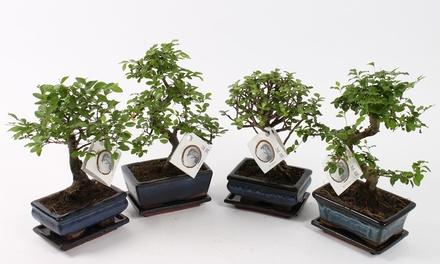 Set van 2 geïmporteerde Chinese Bonsaibomen