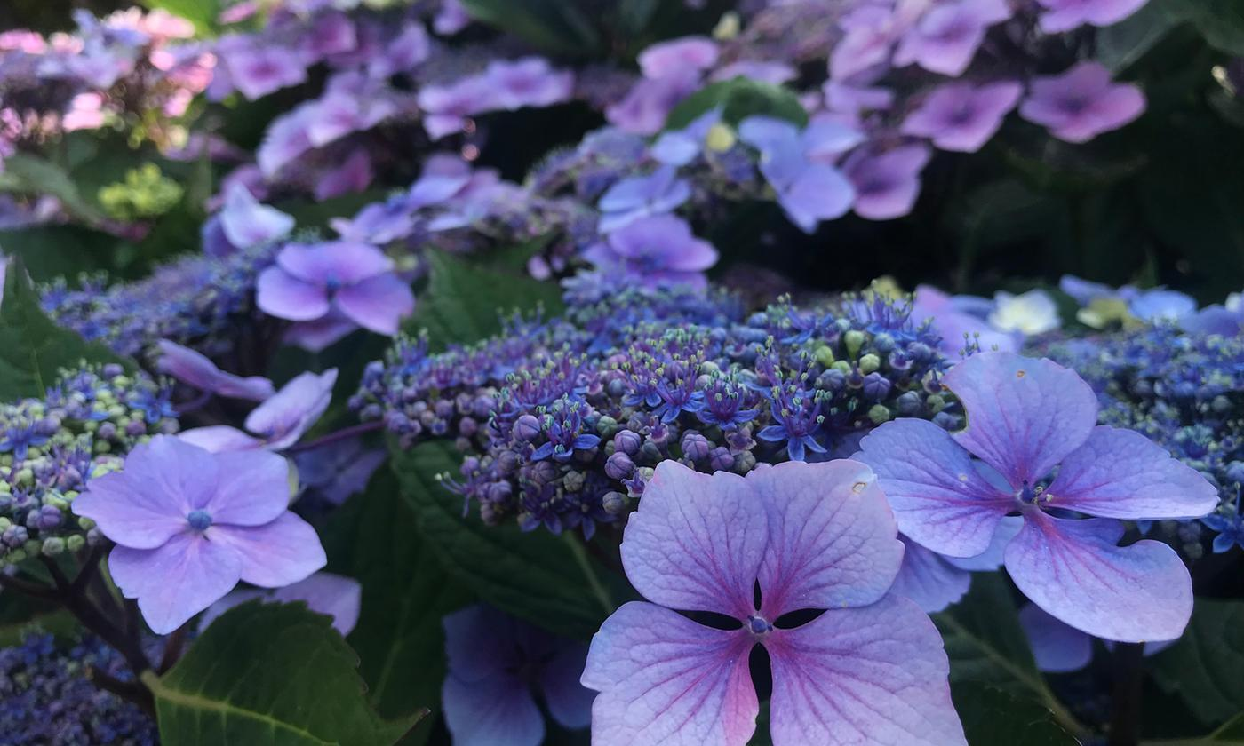 One or Two Hydrangea Summer Glow Plants