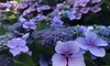Hydrangea Summer Glow