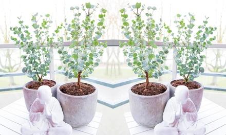 2, 4 o 6 plantas de Eucalipto de la sidra