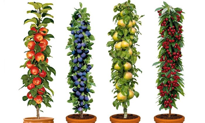 Four or Eight Pot Grown Pillar Fruit Trees from £29.98