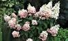 2 o 4 arbustos hydrangea paniculata pink diamond