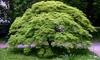 "1 o 2 piante di aceri giapponesi ""Emerald Lace"""
