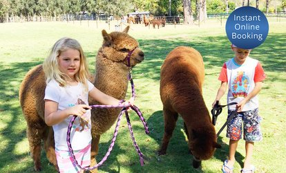 30-Minute Alpaca Walk with Alpaca Food: One ($19) or Two ($36) People at Mountview Alpaca Farm (Up to $66 Value)