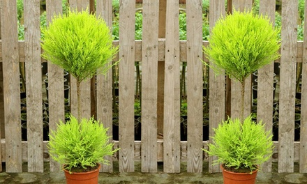 Topiary Goldcrest Trees from £24.98 With Free Delivery