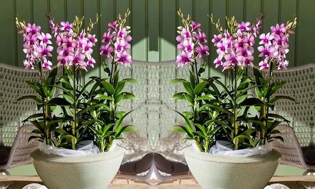 2 o 4 orquídeas Dendrobium