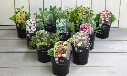 Six or Ten Seasonal Alpine/Rockery Collection Plants
