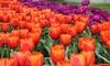 King's Orange Jumbo Tulip Bulbs (5-,10-,15-, or 20-Pack)