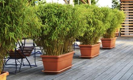 3 ou 6 plantes de bambou Fargesia Rufa 30 40 cm