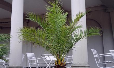 1 o 2 palmeras canarias de 100-120 cm o hasta 4 palmeras canarias de 50-70 cm