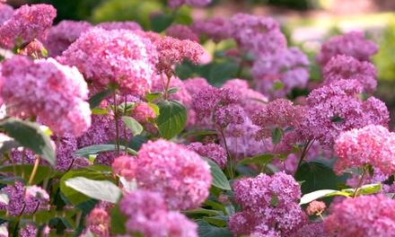 """Hortensiaplanten """"Pink Annabelle"""" in potten van 9 cm"""