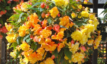 10, 20 or 30 Begonia Lemon and Apricot Shade Tubers with Optional Planters and 20L Bag of Compost