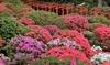 Set Azalea rododendrons