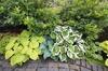 Hosta Plants (7-Pack)
