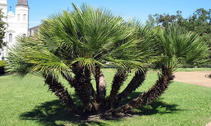 Palmiers r sistants au froid groupon shopping - Palmier resistant au froid ...