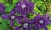 Up to 3 Clematis Florida Kokonoe Plants