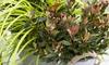 Plantes photinia x fraseri chico