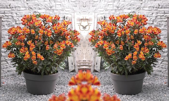 1 2 ou 3 plantes lys des incas groupon. Black Bedroom Furniture Sets. Home Design Ideas