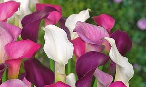 Pack 19 plantes vivaces fleuries roses et blanches