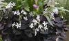 Callas Lavender and Oxalis Triangularis (15 Bulbs)