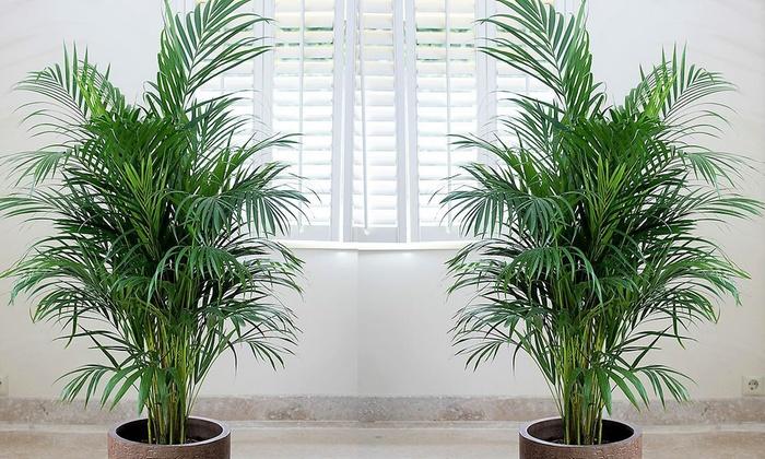 Hasta 63 dto palmeras de interior groupon for Palmeras de interior
