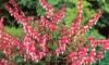 Heirloom Bleeding Heart Flowers (4-Bareroots): Heirloom Bleeding Heart Flowers (4-Bareroots)